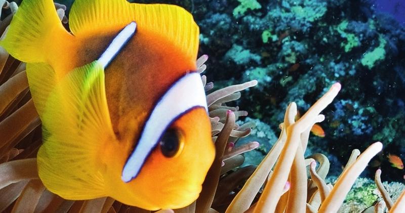 Ein Clownfisch im Great Barrier Reef