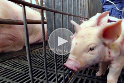Schweine werden gequält. Das Böse Geschäft der Massentierhaltung