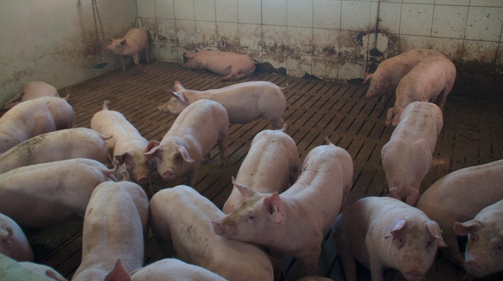 schweine02