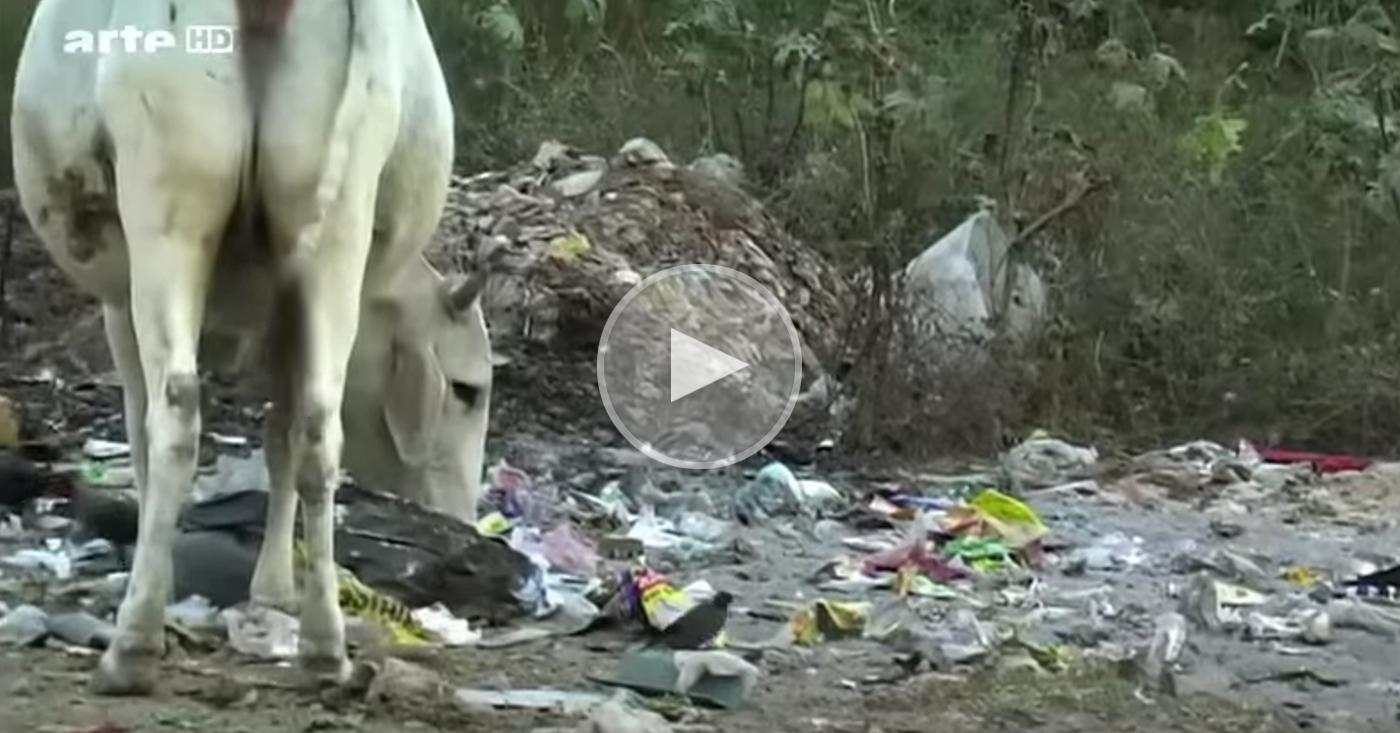 Sogar heilige Kühe in Indien fressen Plastikmüll.