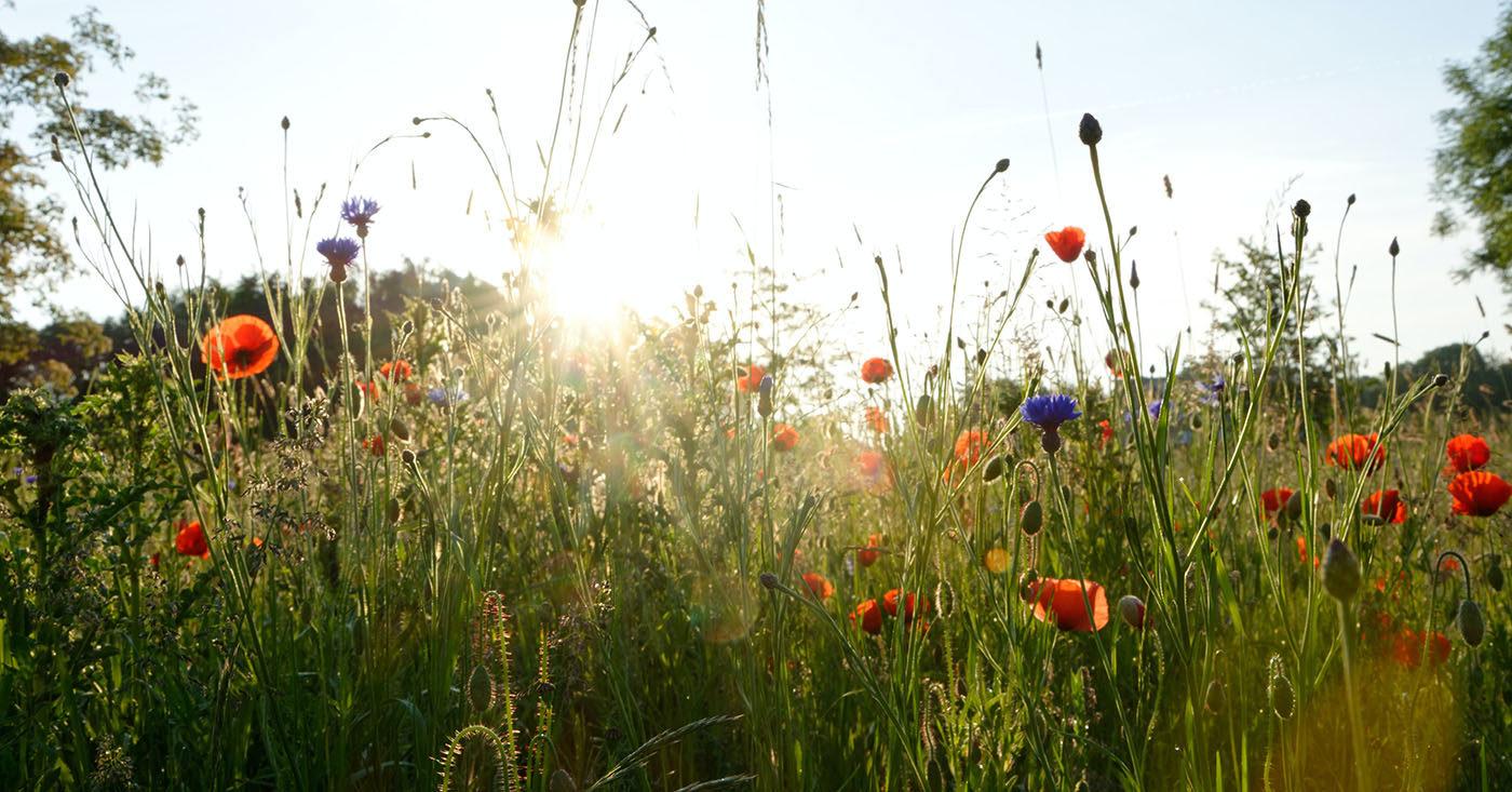 Pflanzen Sie ihre eigene Blumenwiese und retten Sie damit die Bienen. Jetzt Blumensamen bestellen